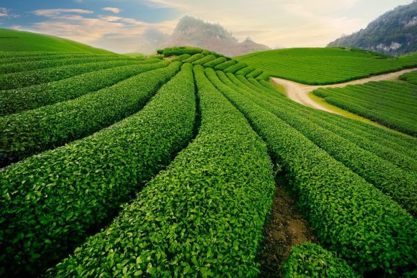 EGCG trong trà xanh