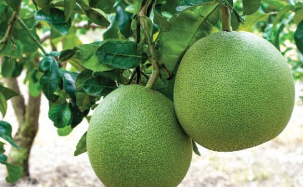 Những trái bưởi